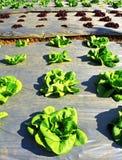 Молодой зеленый салат Стоковое Фото