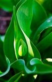 Молодой зеленый тюльпан Стоковые Фотографии RF