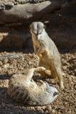 Молодой играть meerkats (suricatta Suricata) Стоковые Фотографии RF
