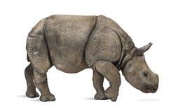 Молодой индийский одн-horned носорог (8 месяцев старых) Стоковые Изображения