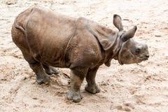 Молодой индийский одн-horned носорог (6 месяцев старых Стоковые Фотографии RF