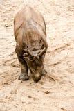Молодой индийский одн-horned носорог (6 месяцев старых Стоковое фото RF