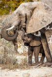 Молодой и более старый слон Стоковые Фотографии RF