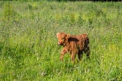 Молодой идти коровы гористой местности Стоковое Изображение RF
