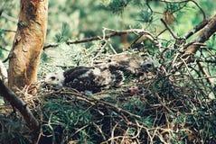 Молодой канюк в одичалом Стоковая Фотография RF