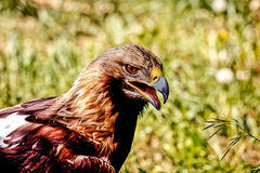 Молодой канюк на охоте Стоковое Фото