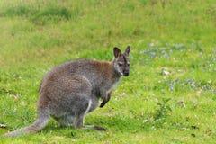 Молодой кенгуру на зеленом луге Стоковое фото RF