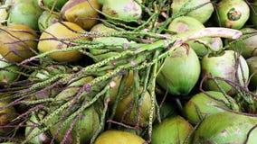 Молодой кокос с черенок Стоковая Фотография