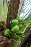 Молодой кокос Стоковое Фото