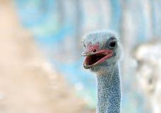 Молодой конец стороны страуса вверх Стоковая Фотография