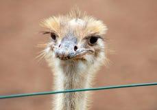 Молодой конец стороны страуса вверх Стоковое Изображение