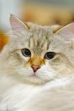 Молодой кот Ragamuffin стоковые изображения rf