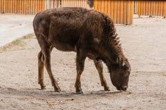 Молодой красивый бизон стоковые фото