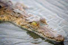 Молодой крокодил смотря камеру Стоковая Фотография