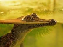 Молодой крокодил Стоковые Изображения RF