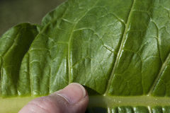 Молодой крупный план лист табака Стоковая Фотография RF
