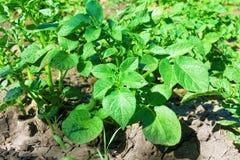 Молодой куст картошки на том основании в поле. Стоковое Изображение