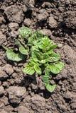 Молодой куст картошки Стоковые Фото