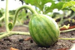 Молодой малый арбуз в саде в точной ясной погоде Стоковое Изображение