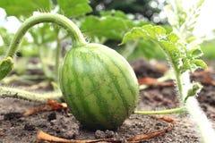 Молодой малый арбуз в саде в точном конце-вверх ясной погоды Стоковые Изображения RF