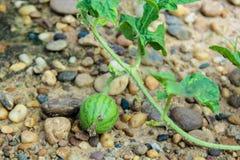 Молодой малый арбуз Стоковая Фотография
