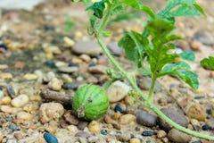 Молодой малый арбуз Стоковые Фото