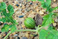 Молодой малый арбуз Стоковое Изображение