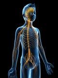 Молодой мальчик - нервная система Стоковые Фотографии RF