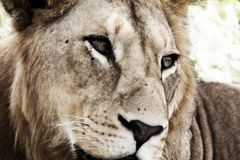 Молодой мужской лев (художнический обрабатывать) Стоковые Фотографии RF