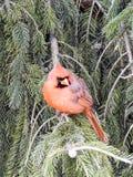 Молодой мужской кардинал садить на насест в сосне Стоковое Фото