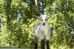 Молодой мужской портрет козы Стоковое фото RF