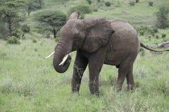 Молодой мужской слон пася Стоковая Фотография