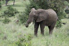 Молодой мужской слон пася Стоковые Фото