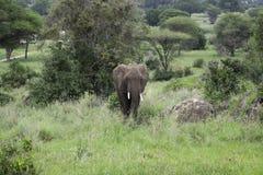 Молодой мужской слон пася Стоковые Изображения