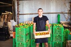 Молодой мужской фермер подготавливая томат к продажам на рынке в деревянных коробках в хранении фермы на парнике Стоковое Изображение RF