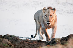 Молодой мыжской лев стоковые фотографии rf