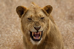 Молодой мыжской лев Стоковые Изображения RF