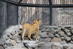 Молодой новичок льва Стоковые Фотографии RF
