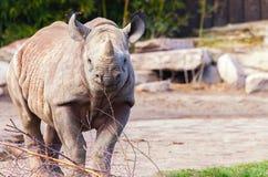 Молодой носорог смотрит к камере Стоковые Изображения