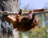 Молодой орангутан Стоковое Изображение