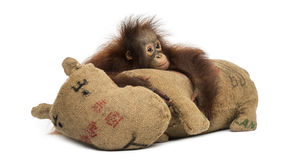 Молодой орангутан Bornean обнимая свою мешковину заполнил игрушку Стоковые Фотографии RF