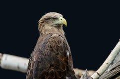 Молодой орел Стоковые Фотографии RF