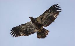 Молодой орел Стоковое Изображение RF