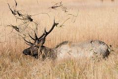 Молодой лось быка внутри валяется Стоковое Фото