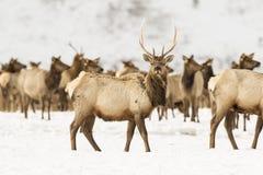 Молодой лось быка в глубоком снеге в зиме на национальном убежище лося Стоковое Изображение