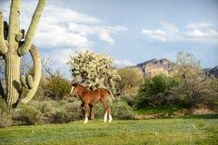 Молодой осленок каштана с белым пламенем в пустыне Sonoran стоковое изображение