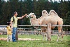 Молодой отец и его маленький сын смотря верблюда Стоковое Изображение