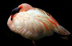 Молодой отдыхать птицы фламинго стоковая фотография rf