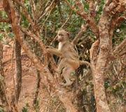 Молодой павиан Стоковая Фотография RF