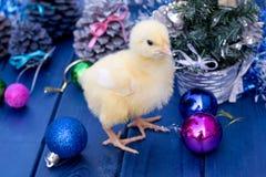 Молодой петух, маленький цыпленок Животное, птица, птица Стоковая Фотография RF